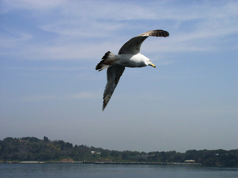 Seagull over Marmara Sea